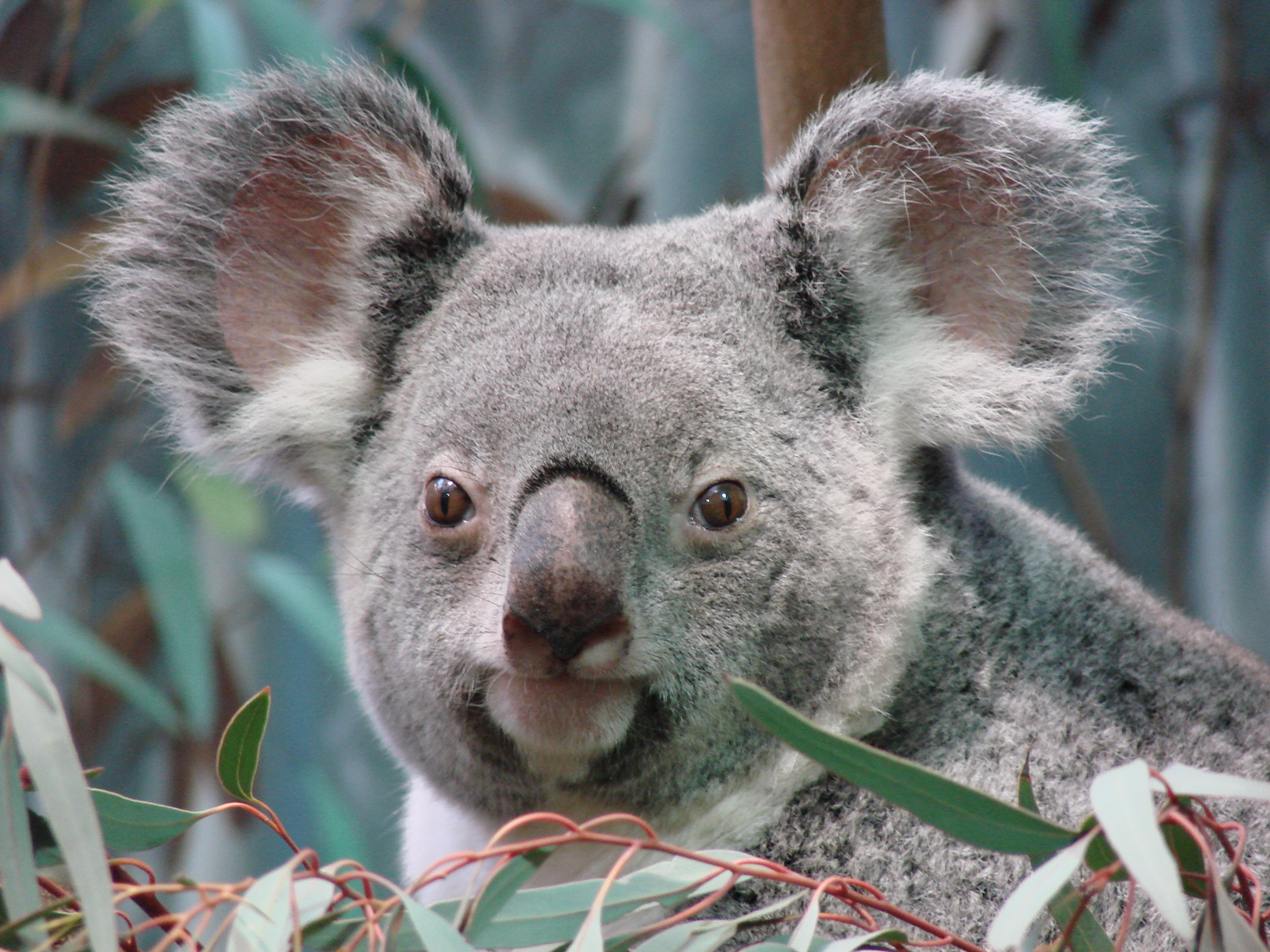 Koala named Midgee | Flickr - Photo Sharing!