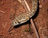 "<a href=""http://www.flickr.com/photos/teejaybee/3261705620/"">Photo of Morelia spilota by teejaybee</a>"