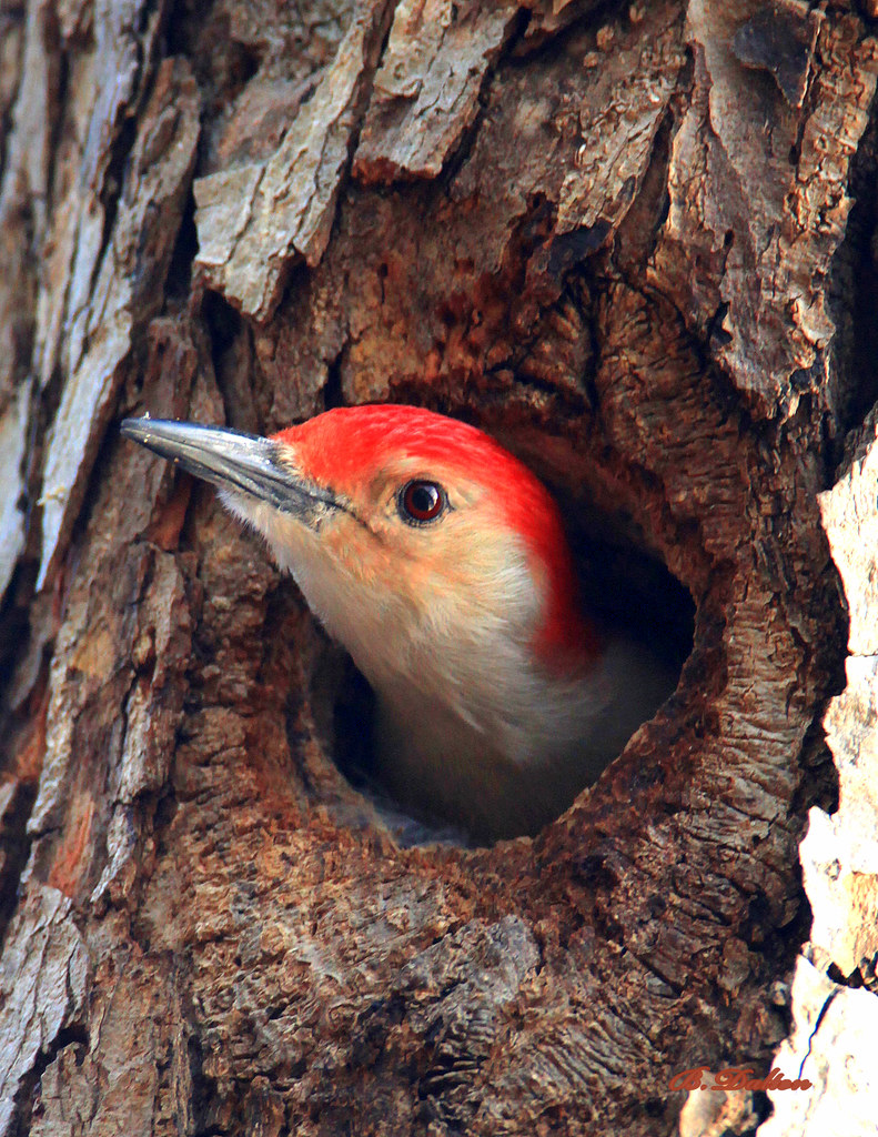 Red-bellied Woodpecker(s)