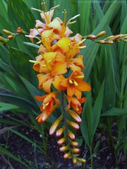 CROCOSMIA masoniorum 'Sherbert Orange'
