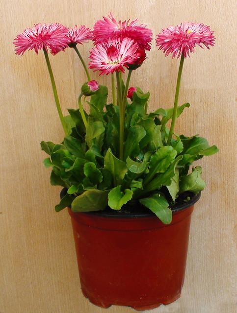 Planta de bellis perennis flickr photo sharing - Potus planta de mala suerte ...