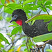 Crested Guan - Photo (c) Jerry Oldenettel, some rights reserved (CC BY-NC-SA)