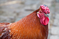 animal, chicken, rooster, red, poultry, fauna, close-up, comb, fowl, beak, bird, galliformes,