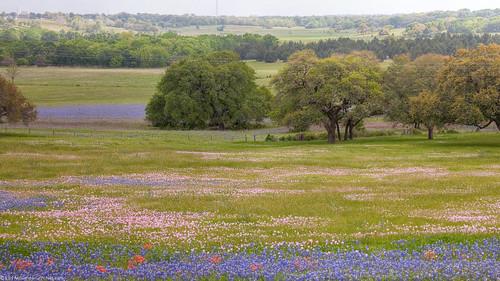 field texas farm hills wildflowers bluebonnets primrose washingtoncounty