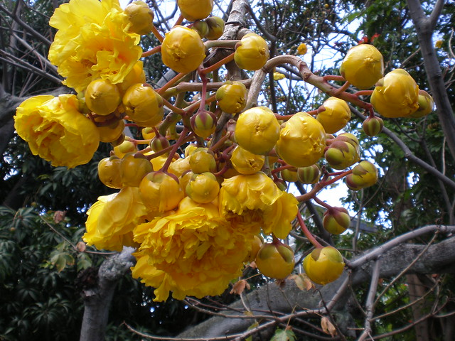 double flowers of the buttercup tree cochlospermum