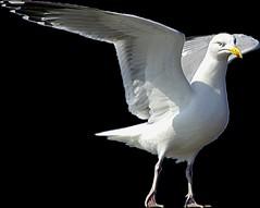 sea gull for Snips