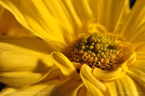 flower macro yellow colorful center bouquet chrysanthemum 2009 nikond90 105mmf28vrlens