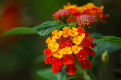 tropical milkweed(0.0), shrub(0.0), annual plant(1.0), flower(1.0), yellow(1.0), red(1.0), plant(1.0), macro photography(1.0), herb(1.0), wildflower(1.0), flora(1.0), lantana camara(1.0), petal(1.0),