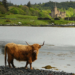 A Highland cow seeking for seaweed
