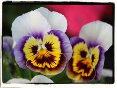 eye(0.0), pansy(1.0), flower(1.0), yellow(1.0), plant(1.0), malpighiales(1.0), flora(1.0), petal(1.0), viola(1.0),