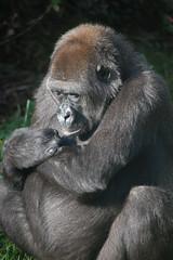 Gorilla female at Burger's Zoo