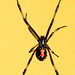 juvenile black widow