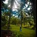Oil palms in Robert's garden, Costa Rica