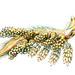 Doto coronata, Ernst Haeckel, http://en.wikipedia.org/wiki/Ernst_Haeckel