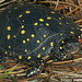 Spotted Turtle - Photo (c) Todd Pierson, some rights reserved (CC BY-NC-SA)
