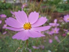 blossom(0.0), annual plant(1.0), flower(1.0), garden cosmos(1.0), plant(1.0), nature(1.0), macro photography(1.0), wildflower(1.0), flora(1.0), cosmos(1.0), petal(1.0),