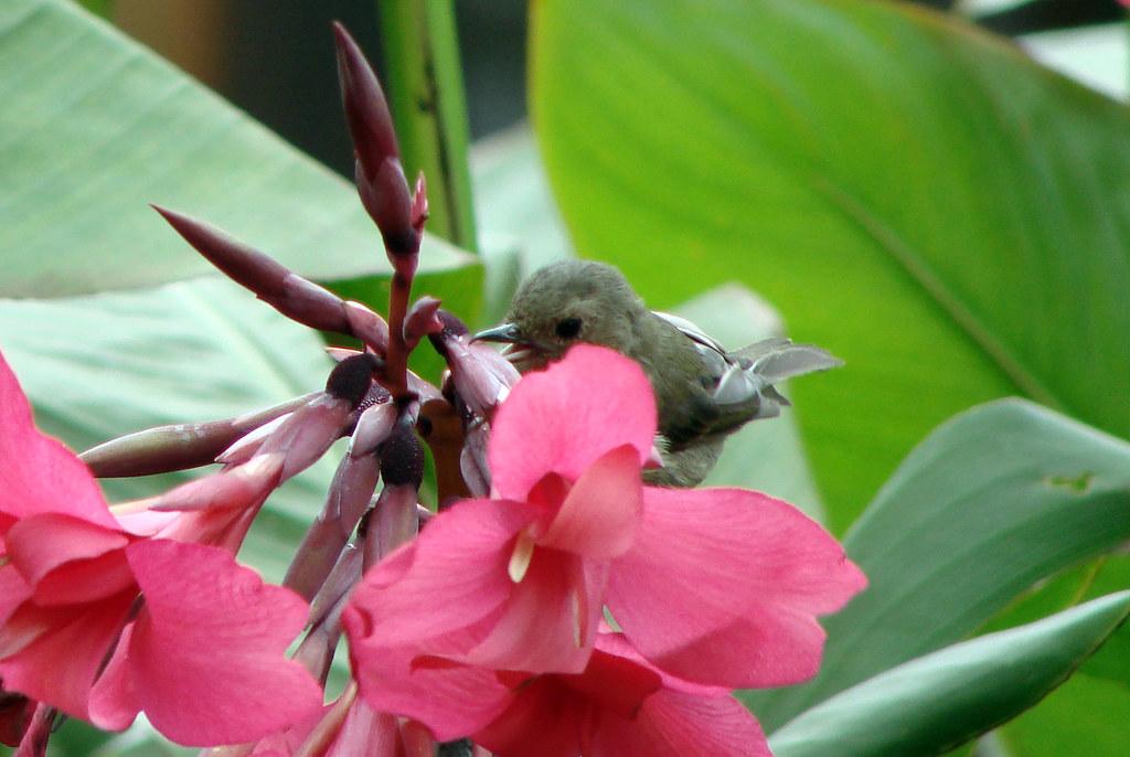 Slaty Flowerpiercer