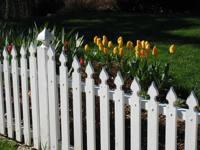 yellow tulips white picket fence flickr photo sharing