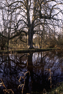 watertree
