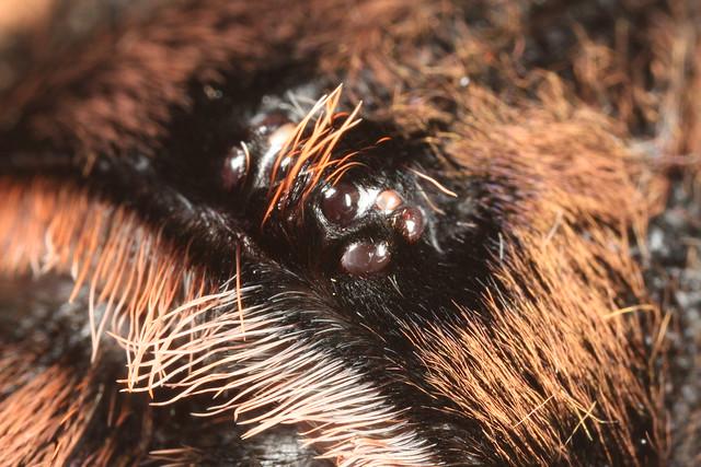 Tarantula Eyes Tarantula Eyes The Eyes of a