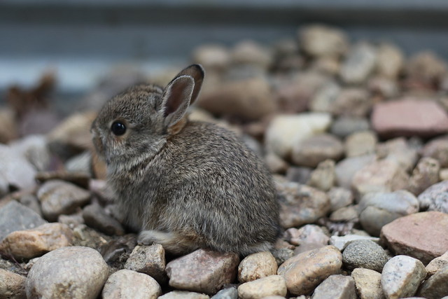 Baby Bunny Rescue 2 Flickr Photo Sharing