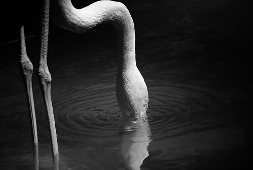 Drinking Flamingo (black&white)