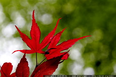 new leaves on our japanese maple