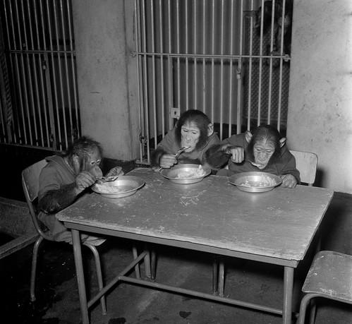 Artis de aapjes aan het ontbijt