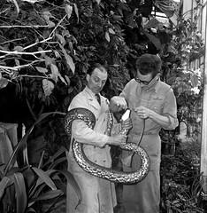 Slang door oppasser gevoed in Artis, een 20 kg wegende python