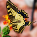 Common Swallowtails - Photo (c) Luca Martino, some rights reserved (CC BY-NC-SA)