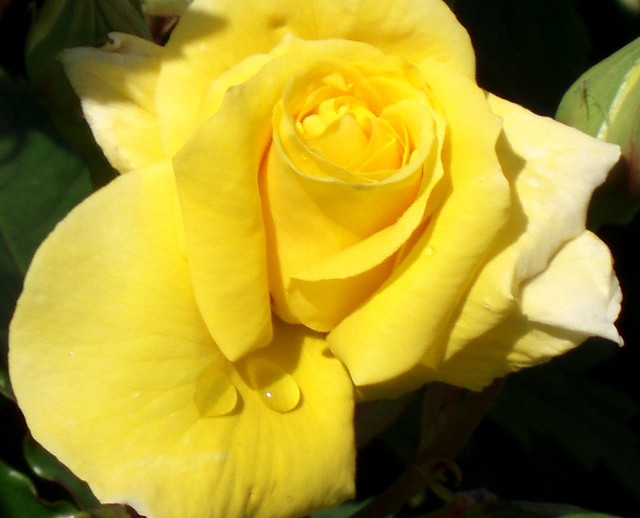 Water Drops on Yellow Rose