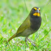 Yellow-faced Grassquit - Photo (c) Jerry Oldenettel, some rights reserved (CC BY-NC-SA)