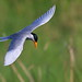 tern--river pose