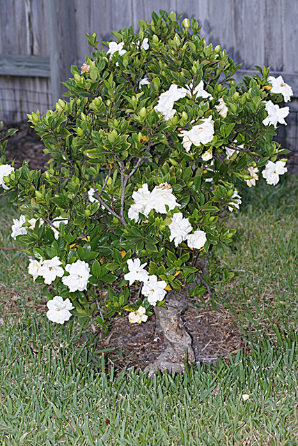 Gardenia Bush http://www.flickr.com/photos/florida_photo_guy/3454629550/