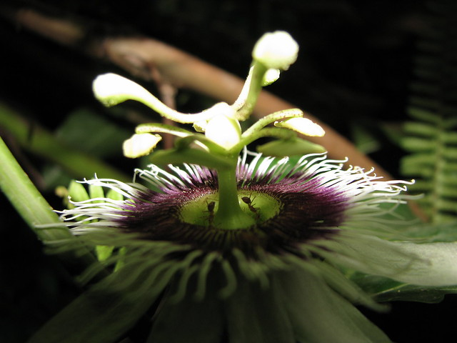 Passion Fruit's Flower Slanted