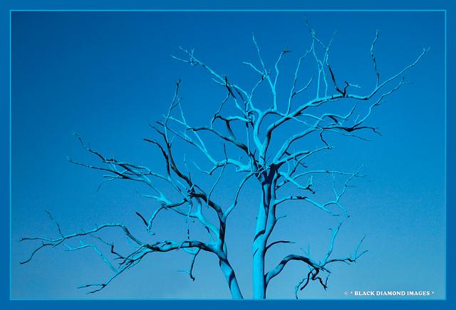 Australian Blue Gum - Mount Annan Botanic Gardens