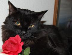 domestic long-haired cat, animal, small to medium-sized cats, pet, mammal, black cat, bombay, cat, whiskers, black, manx, domestic short-haired cat,