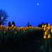 Skaget Valley Tulips, by  moonlight, Washington State