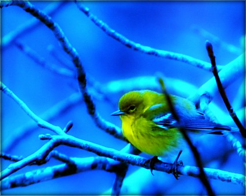 Yellow Bird Bokeh