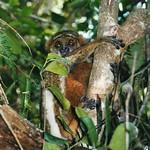 Avahi laniger (Eastern Woolly Lemur)