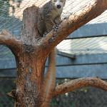 Lemur couronné