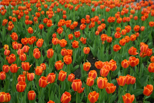 Hundreds of Tulips