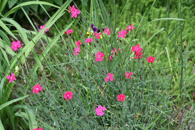 "Zing Rose Maiden Pink | Dianthus deltoides ""Zing Rose&q ..."