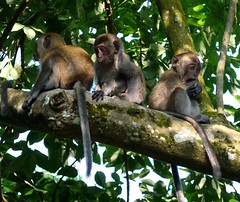 tufted capuchin(0.0), squirrel monkey(0.0), animal(1.0), monkey(1.0), mammal(1.0), capuchin monkey(1.0), fauna(1.0), old world monkey(1.0), new world monkey(1.0), jungle(1.0), macaque(1.0), wildlife(1.0),