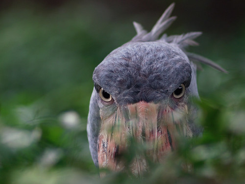 shoebill thegalaxy balaenicepsrex 35faves specanimal vanagram thewonderfulworldofbirds zeisscy135mmf28 tplringexcellence