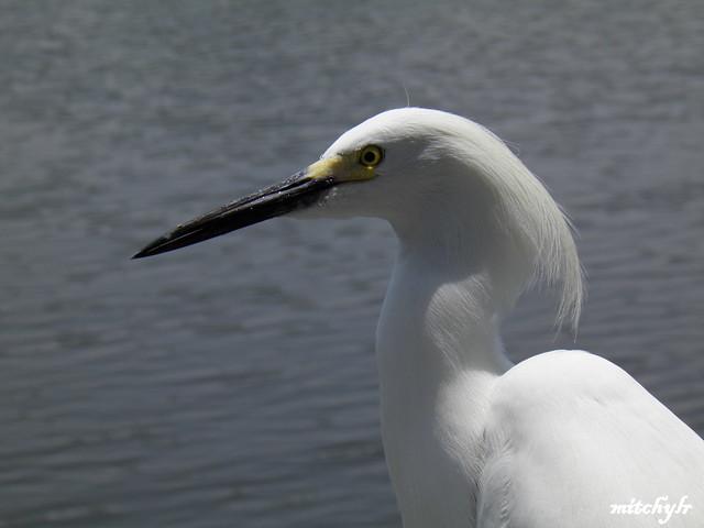 Snowy Egret 10