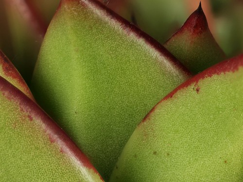 2014-03-07-14.38.17 ZS PMax Echeveria agavoides by John Rusk