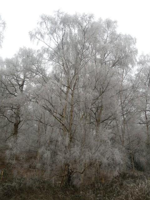Frosty tree s