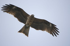 Black Kite - Photo (c) Tomio Ueda, some rights reserved (CC BY-NC-SA)