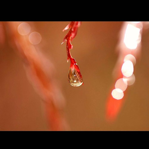 rain maple raw humor japanesemaple tuesday raindrops droplet mostviewed vosplusbellesphotos